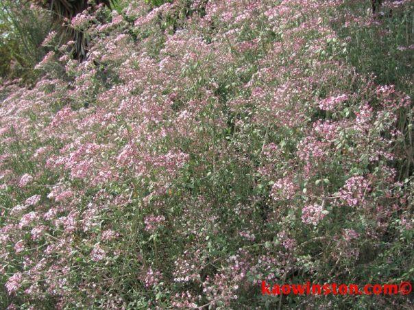 Euphorbia xanti